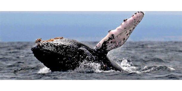 Nach 30 Jahren wieder Buckelwal vor Rügen