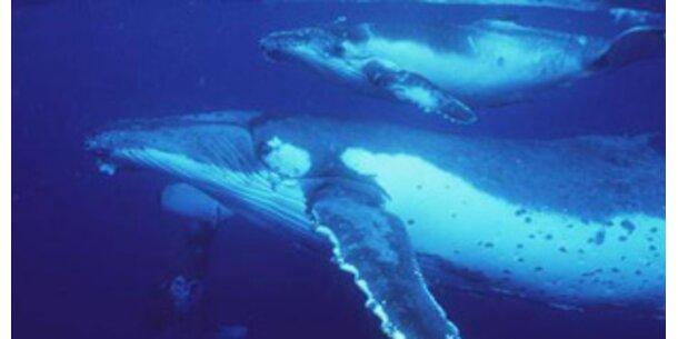 Reise der Buckelwale via Satellit mitverfolgen