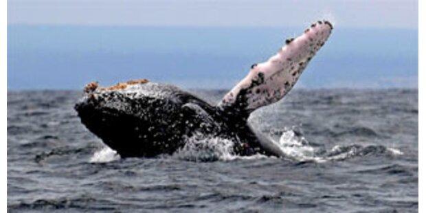 Buckelwal kollidiert mit Rettungsboot