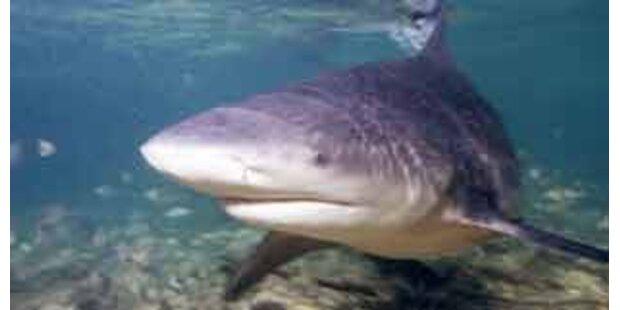 Die wichtigsten Fakten über Bullenhaie