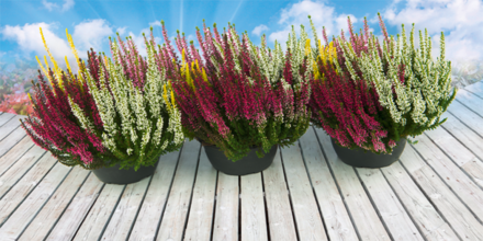 Die Pflanze des Monats - Alluna  Beauty Ladies - Quattros