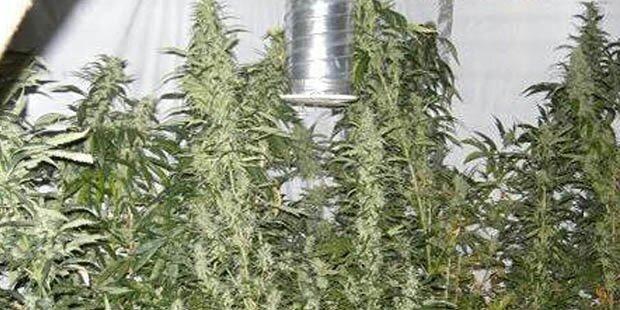 Cannabis in Wiener Wohnung entdeckt