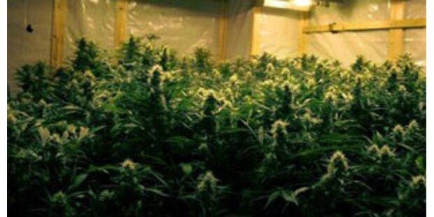 Cannabisplantage in Niederösterreich entdeckt