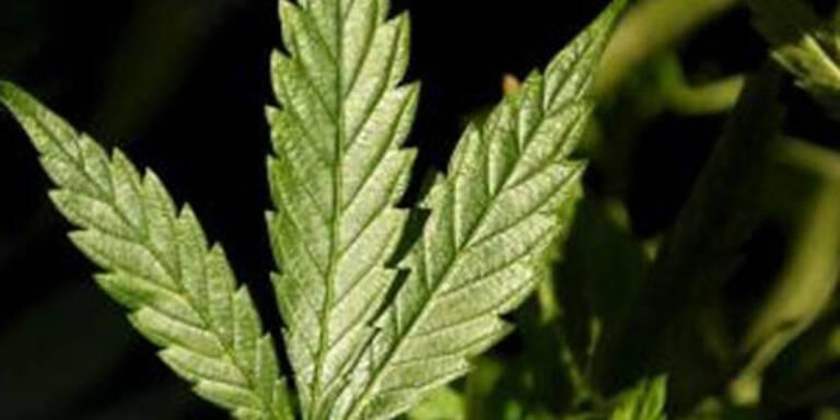 Wiener züchtete 105 Cannabis-Pflanzen