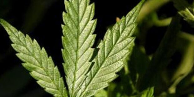 Cannabis-Zucht an Westautobahn entdeckt