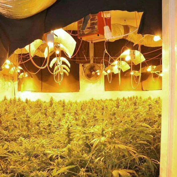 cannabis_620.jpg