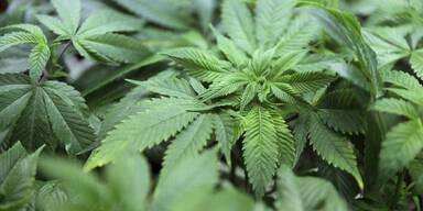Wiener dealte mit 3,2 Kilo Cannabisblüten