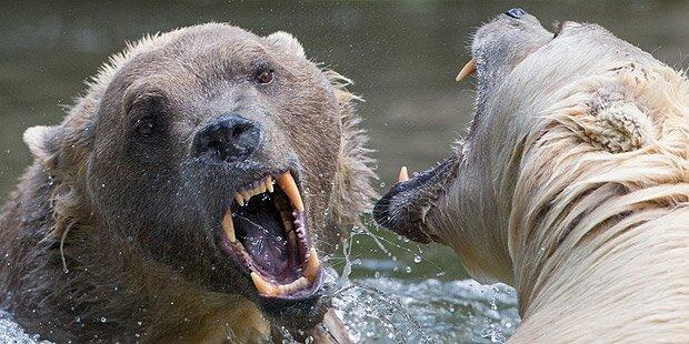 Seltener Hybrid-Bär brach aus Zoo aus - erschossen
