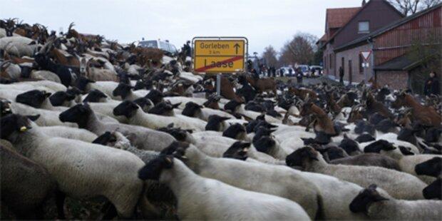 Schafe und Ziegen blockieren Castor