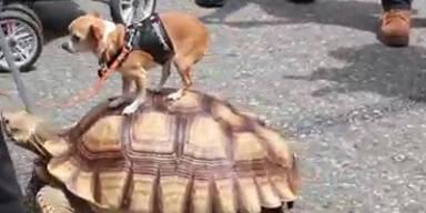 Chihuahua reitet auf Riesenschildkröte