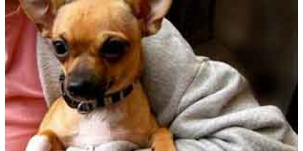 Eule wollte Chihuahua erbeuten