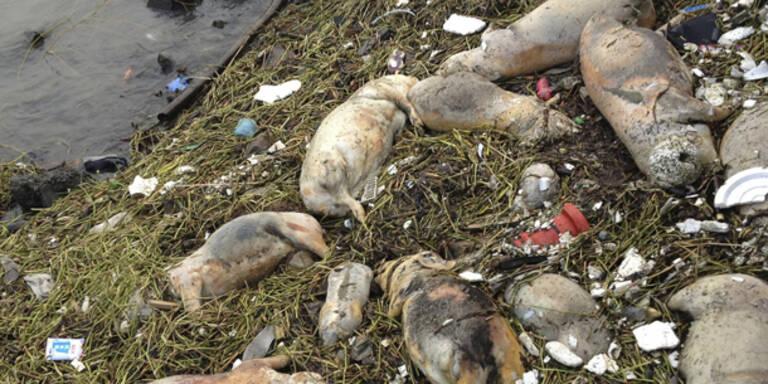 Rätsel um 13.000 tote Schweine im Fluss