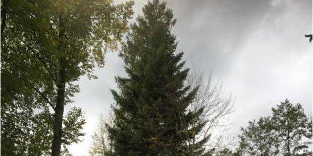 Flachgauer Baum für den Christkindlmarkt