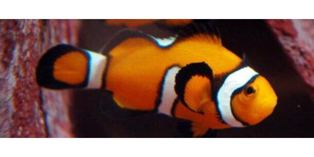 Clownfische riechen, wo es langgeht