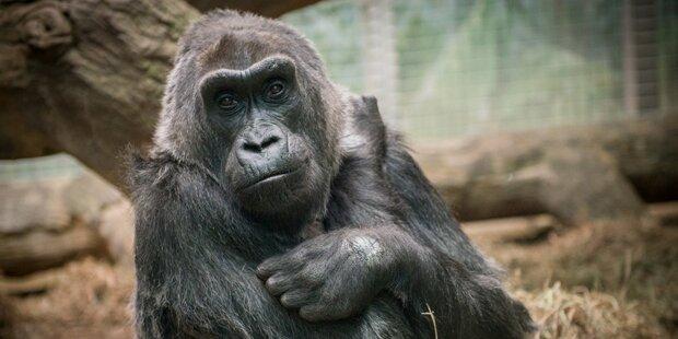 Der älteste Gorilla der Welt ist tot