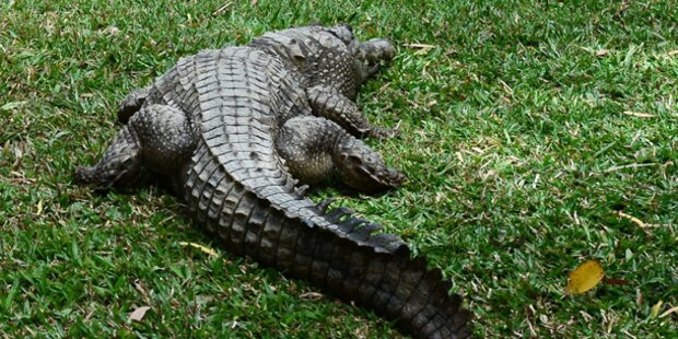 Mann von Monster-Krokodil getötet