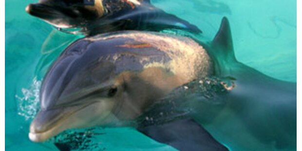 20 Delfine in England verendet