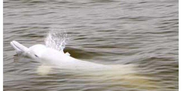 Ausgestorbener Flussdelfin im Jangtse gesichtet