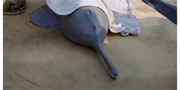 Delfine kämpfen ums Überleben
