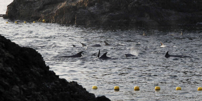 Abschlachten von Delfinen hat begonnen