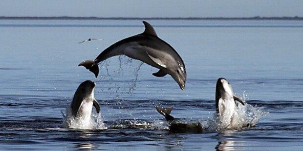 Neue Delfinart bei Melbourne entdeckt