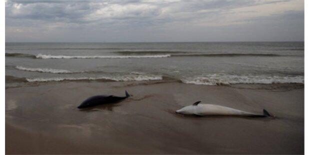 20 tote Delfine auf Strand in Urugay