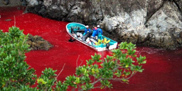 Blutige Delfinjagd hat begonnen