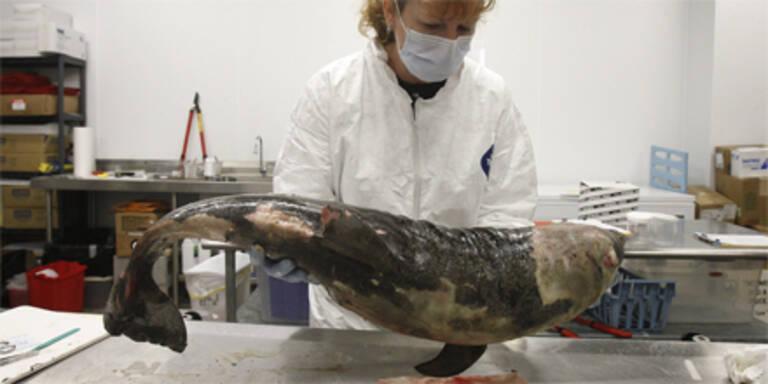 Mehr tote Delfin-Babys nach Ölkatastrophe