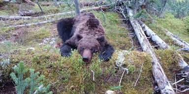 Brutale Bären-Attacke auf Touristen – Junge getötet
