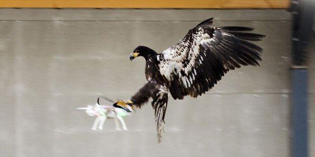 Raubvögel als Waffe gegen Drohnen