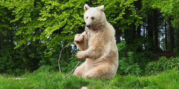 Drama um Bär