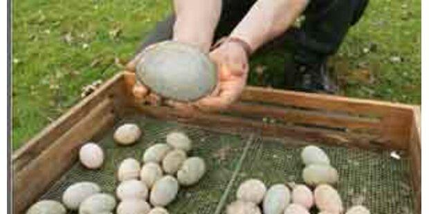Rekordverdächtiges Hühnerei in Pamhagen entdeckt