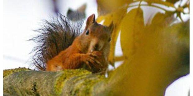 US-Umweltamt erlaubt Verzehr von Eichhörnchen
