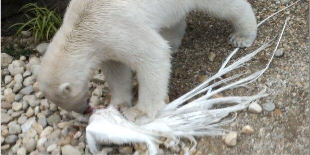 So brutal tötete die Eisbärin den Pfau