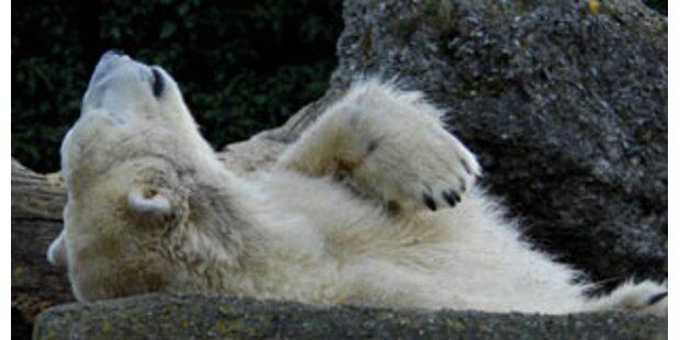 Eisbären-Nachwuchs auch im Nürnberger Zoo