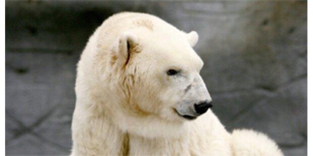 Eisbär im Moskauer Zoo angeschossen