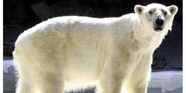 Beratungen über Rettung der Eisbären