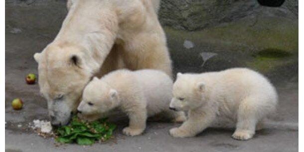 Bilder von eisbären zum ausdrucken