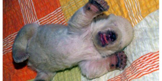 Nürnberger Eisbärenbaby ist ein Mädchen