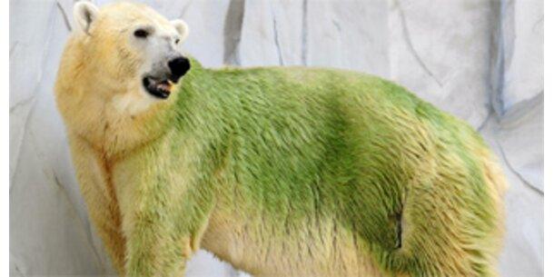 Grüne Eisbären verblüffen Zoobesucher