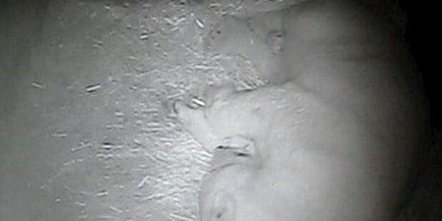 Mutter von Eisbär