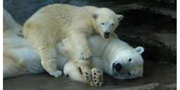 Eisbär-Nachwuchs: Jetzt kommt Knut!