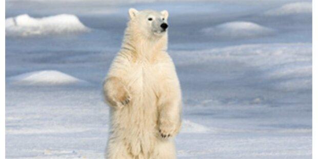 Eisbären überfielen Lebensmitteldepot in Grönland