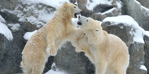 Eisbären-Alarm: Aggressive Bären überrennen Insel