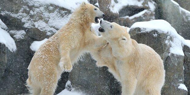 Endlich Eisbärenwetter im Schönbrunner Zoo