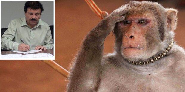 Affe führt Ermittler zu Drogenboss