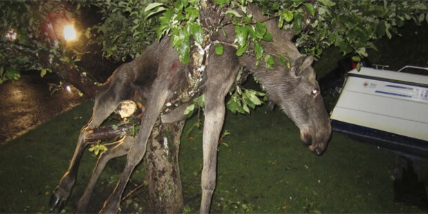 Betrunkener Elch aus Baum befreit