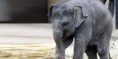 Südafrika lässt  wieder Elefanten-Abschüsse zu