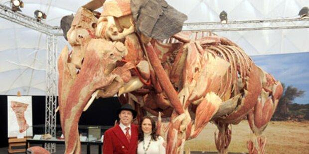 Von Hagens zeigt plastinierten Elefanten