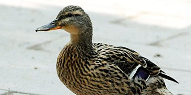 Pensionist schoss mit Armbrust auf Enten